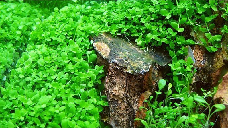 Micranthenum montecarlo in vitro piante acquatiche shop for Piante per acquario online