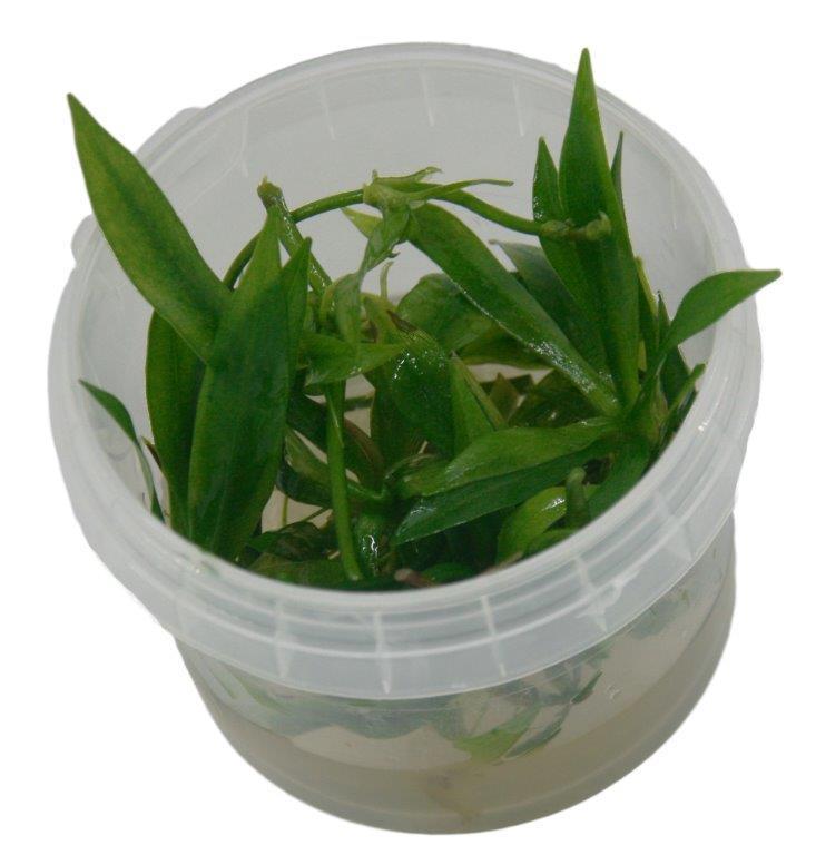 2 X Echinodorus Latifolius Vitro Aquarien Pflanzen Kaufen