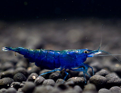 10 x Caridina Blue Fairy Hight Grade